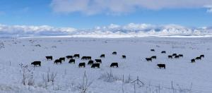 Cattle grazing on snow-packed ground
